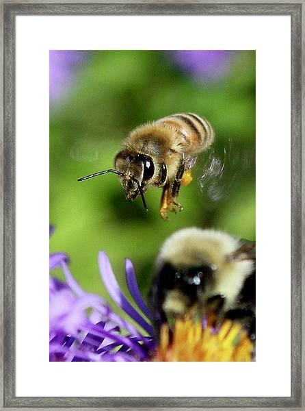 Bee In Flight  Framed Print