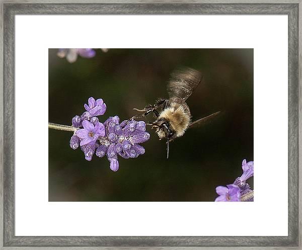 Bee Landing On Lavender Framed Print