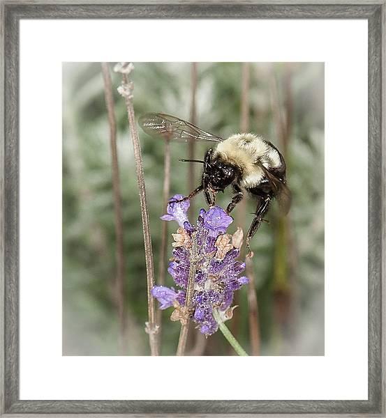 Bee Lands On Lavender Framed Print