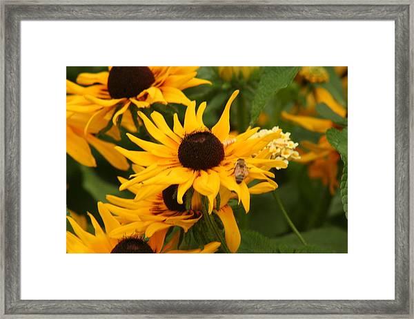 Bee On Daisy Framed Print by Eric Irion