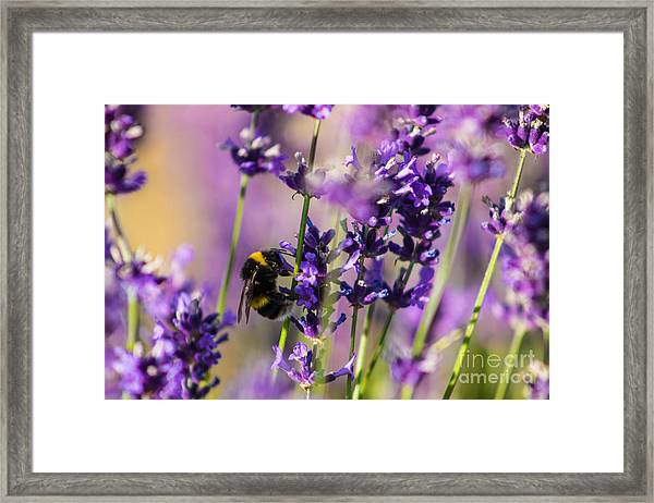 Bee On Lavender Framed Print