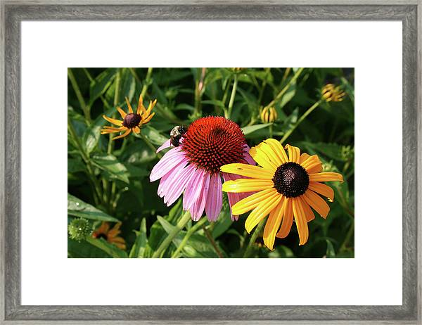 Bee On The Cone Flower Framed Print