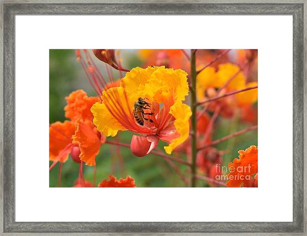 Bee Pollinating Bird Of Paradise Framed Print