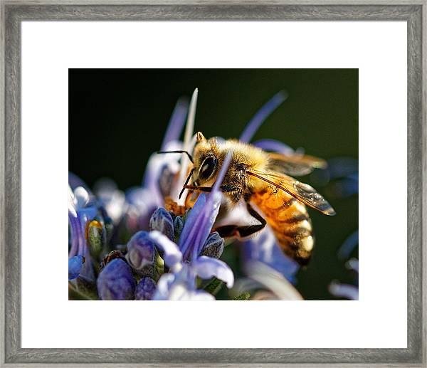 Bee Visits Rosemary  Framed Print