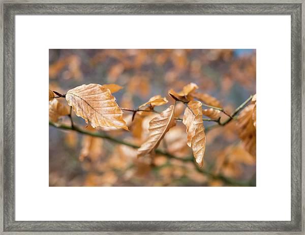 Beech Garland 2 Framed Print