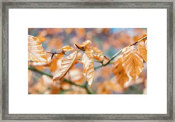 Beech Garland Framed Print