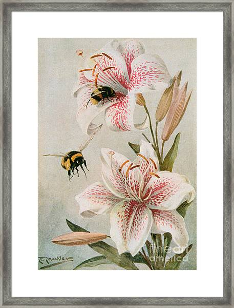 Bees And Lilies Framed Print