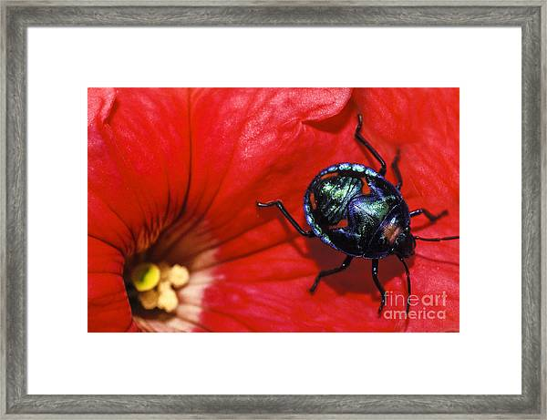 Beetle On A Hibiscus Flower. Framed Print