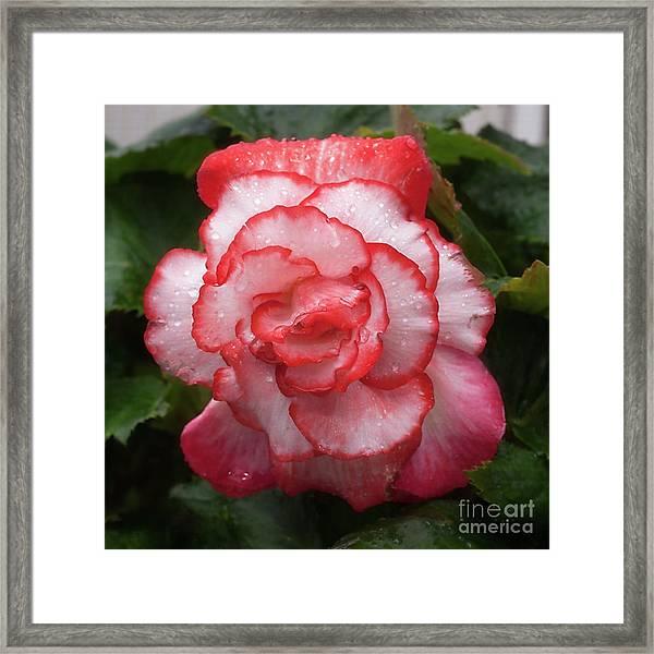 Begonia In The Rain Framed Print