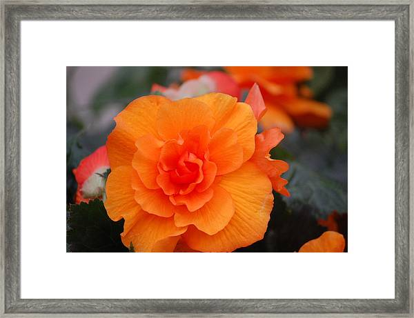Begonia Sunrise Framed Print by Helen Carson