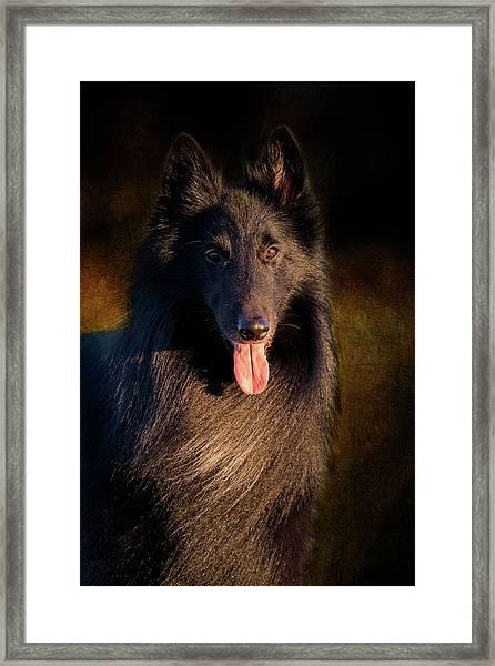 Belgian Groenendael Portrait Framed Print