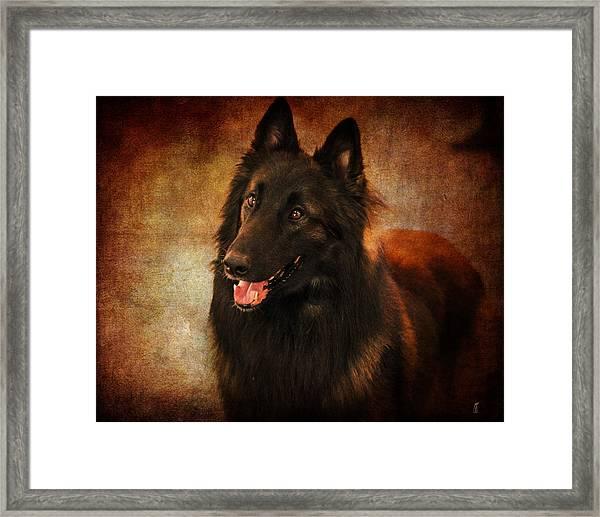 Belgian Tervuren Shepherd Framed Print
