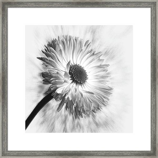 Bellis In Mono  #flower #flowers Framed Print
