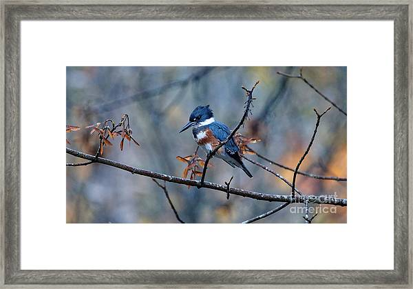 Belted Kingfisher Perch Framed Print