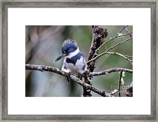 Belted Kingfisher Framed Print