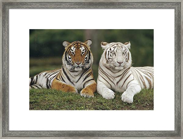 Bengal Tiger Team Framed Print