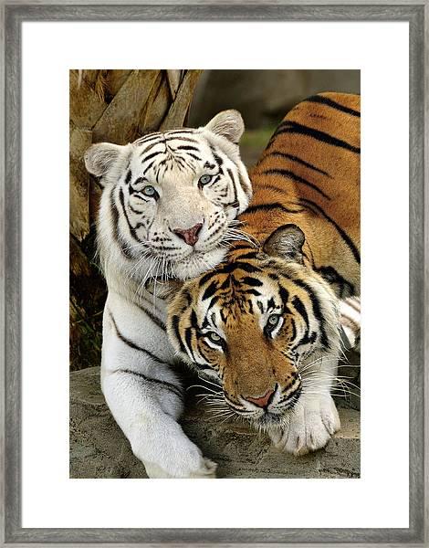Bengal Tigers At Play Framed Print