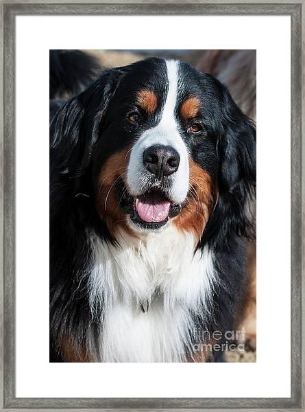 Bernese Mountain Dog Portrait  Framed Print