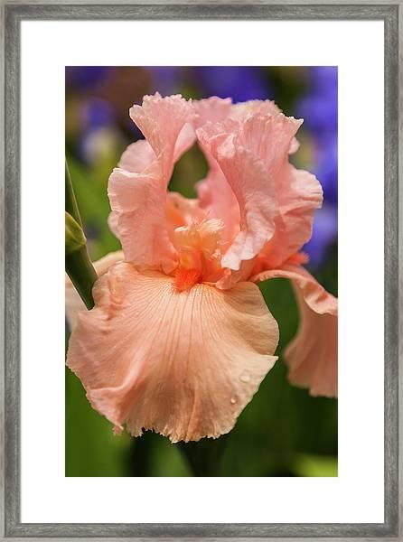 Beverly Sills Iris, 2 Framed Print