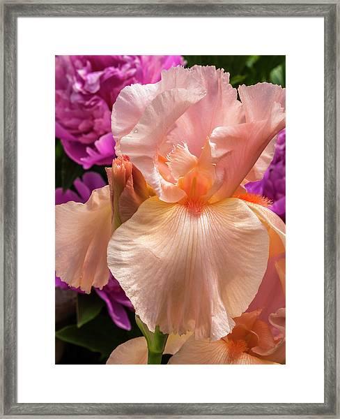 Beverly Sills Iris Framed Print