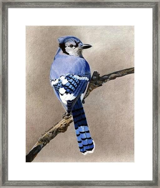 Big Blue Jay Framed Print