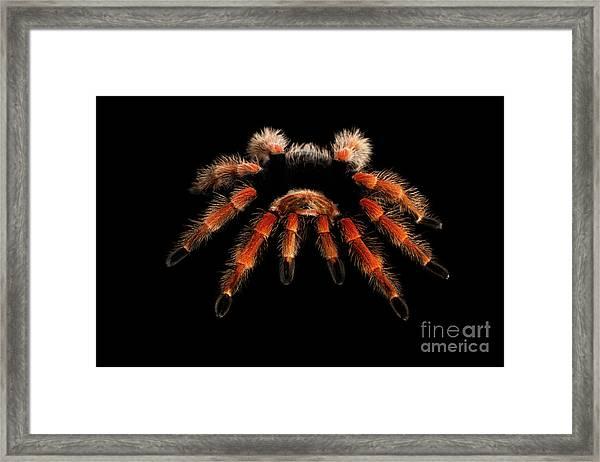 Big Hairy Tarantula Theraphosidae Isolated On Black Background Framed Print