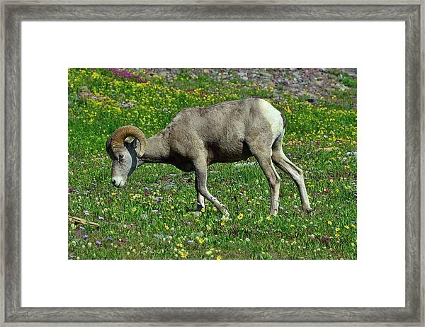 Big Horn Ram Eating Flowers In Glacier National Park Framed Print