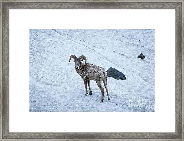 Big Horn Sheep  Framed Print