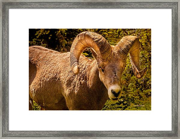 Framed Print featuring the photograph Big Horn Sheep by Claudia Abbott