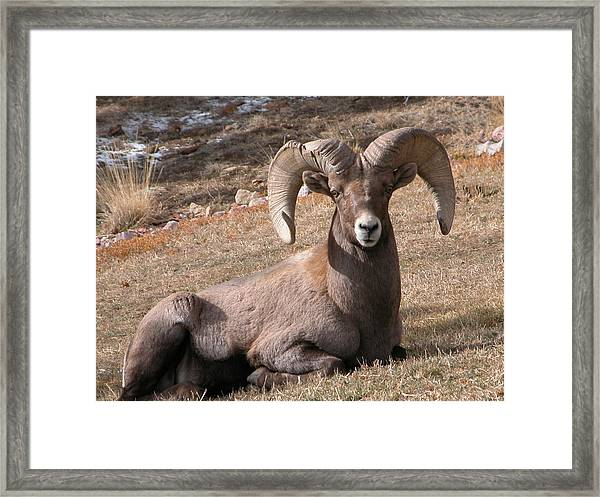 Framed Print featuring the photograph Big Horn Sheep by Joseph R Luciano
