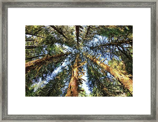 Big Trees In Olympic National Park Framed Print