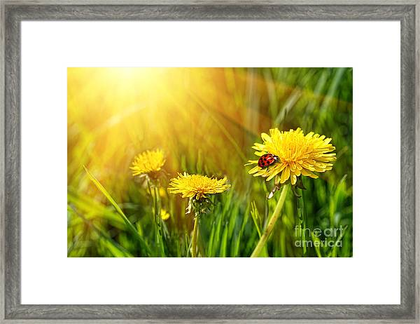 Big Yellow Dandelions In The Tall Grass Framed Print