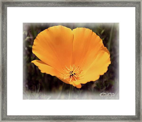 Framed Print featuring the photograph Big Yellow Poppy by William Havle