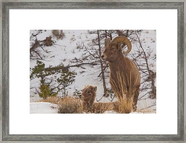 Bighorn Ram And Kid Framed Print