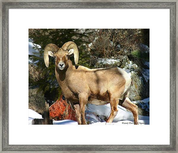 Bighorn Ram Framed Print by Perspective Imagery