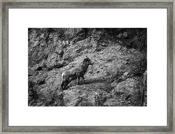 Bighorn Sheep Ewe On Wolf Creek Pass Framed Print