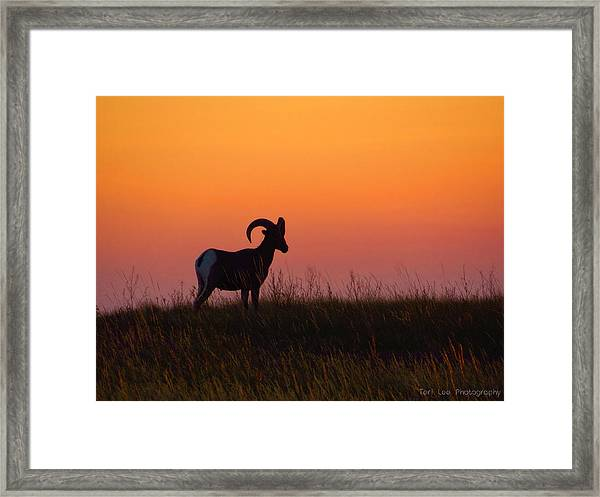 Bighorn Sunset Framed Print