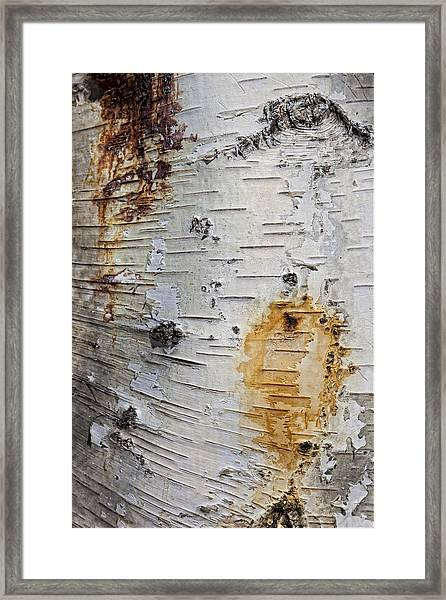 Birch Bark 2 Framed Print