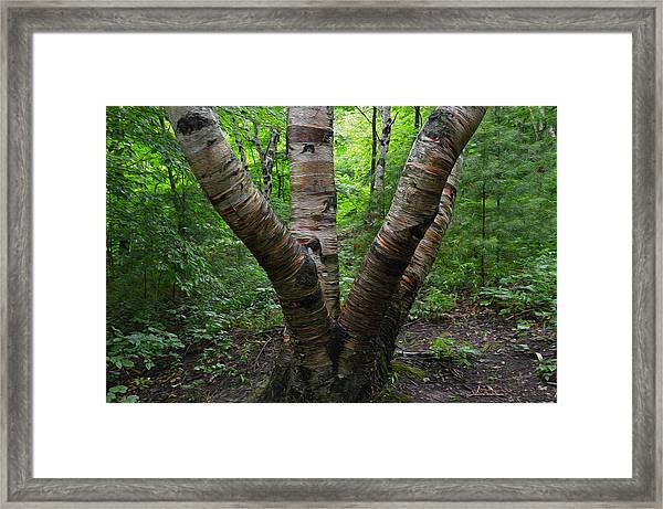 Birch Bark Tree Trunks Framed Print