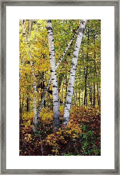 Birch In Gold Framed Print
