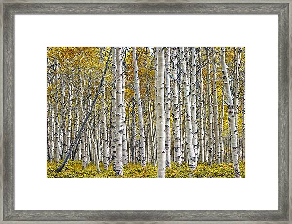 Birch Tree Grove With A Touch Of Yellow Color Framed Print