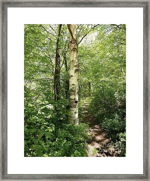 Birch Tree Hiking Trail Framed Print