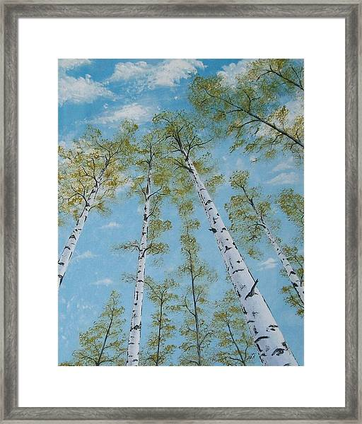 Birch Trees And Sky Framed Print