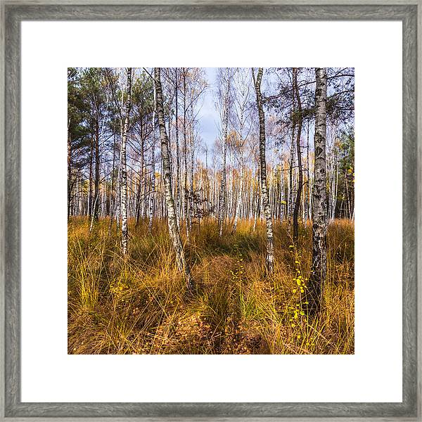 Birches And Grass Framed Print