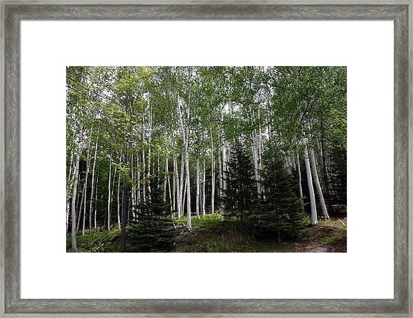 Birches Framed Print