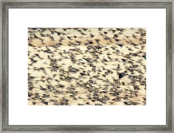 Bird Blizzard Framed Print