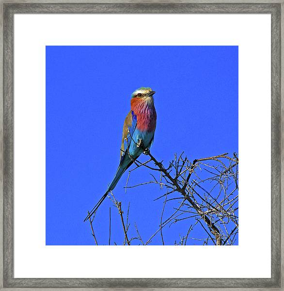 Bird - Lilac-breasted Roller Framed Print