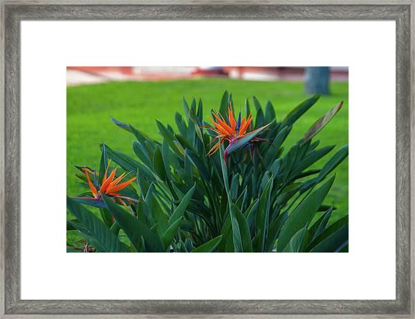 Birds Of Paradise, Vistoria Falls Hotel Framed Print