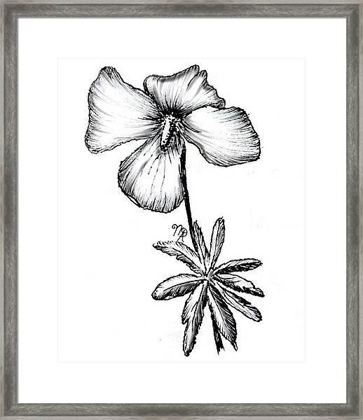 Birdsfoot Violet Framed Print