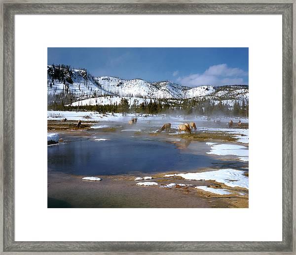 Biscuit Basin Elk Herd Framed Print